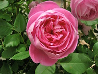 Mother's Day rose wpr