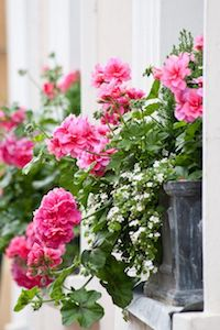 geranium-window-box