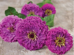 Purple Prince zinnias
