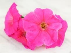 Rose of Heaven petunias