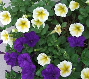yellow-and-purple-petunias