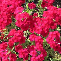 Cherry-red phlox
