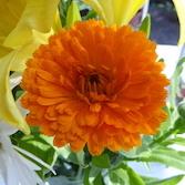 Orange King Calendula