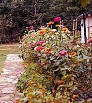 Grandma's zinnias