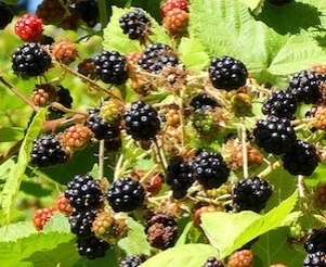 Wild blackberries!