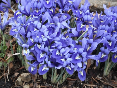 Spring Always Comes iris