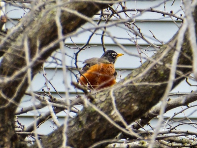 Spring Always Comes robin