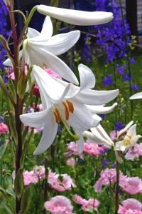 madonna lily garden