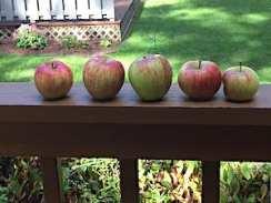 Perfect honeycrisp apples