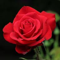 American Beauty rose